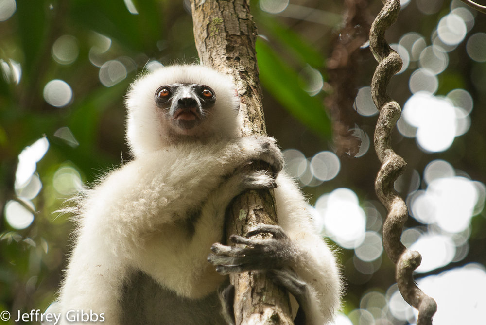 The Silky Sifaka is critically-endangered species of lemur, and one of more than 100 species of lemur found in Madagascar.