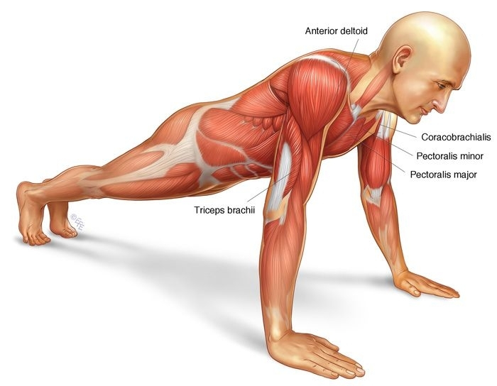Anatomy Of A Push Up Push Up Muscle Anatomy Workout And Bodybilding Pinterest