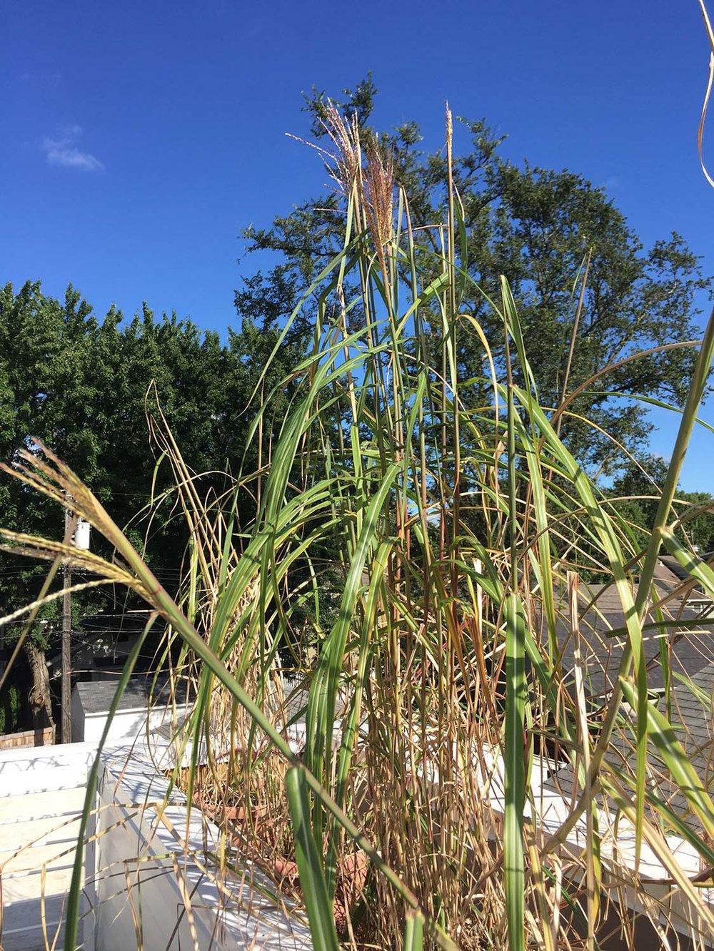 082817 newly installed grasses.jpg