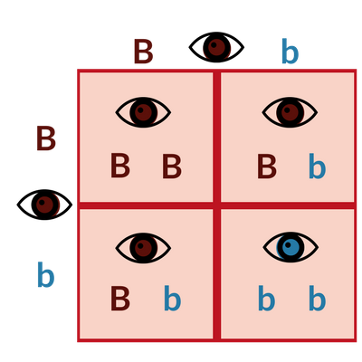 Punnett squares are traditionally used to determine genetic possibilities and probabilities for things like eye color - you might remember these from Biology.