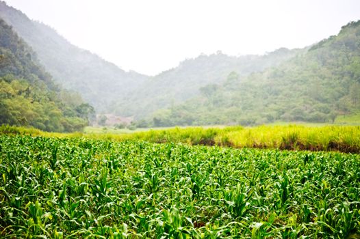 SugarcanePlantation
