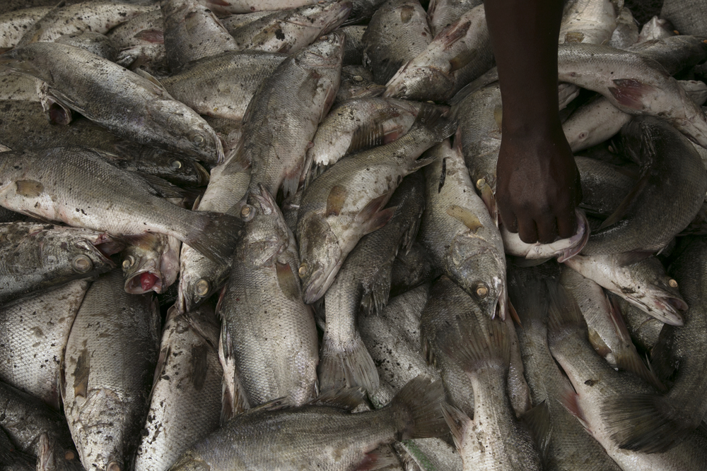 A load of illegally small Nile Perch.