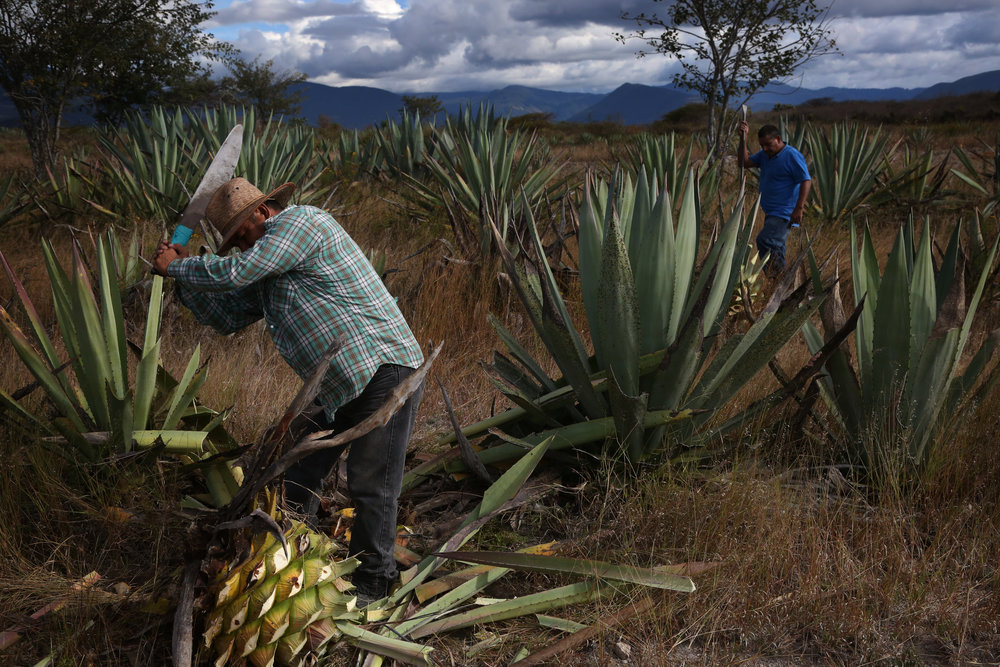 Augustin Guendulian harvests agaves in his field near  Mihuatlan, Oaxaca.