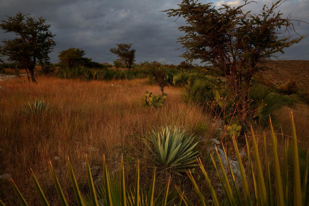 A wild agave grows near  Atlixo,Puebla.