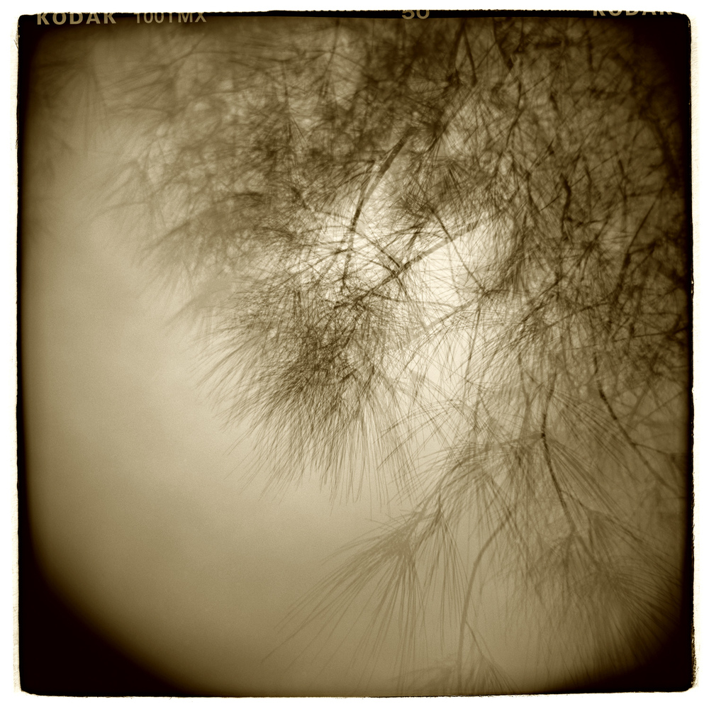 """Pine Study"" H1412  (In-camera Triple Exposure)"