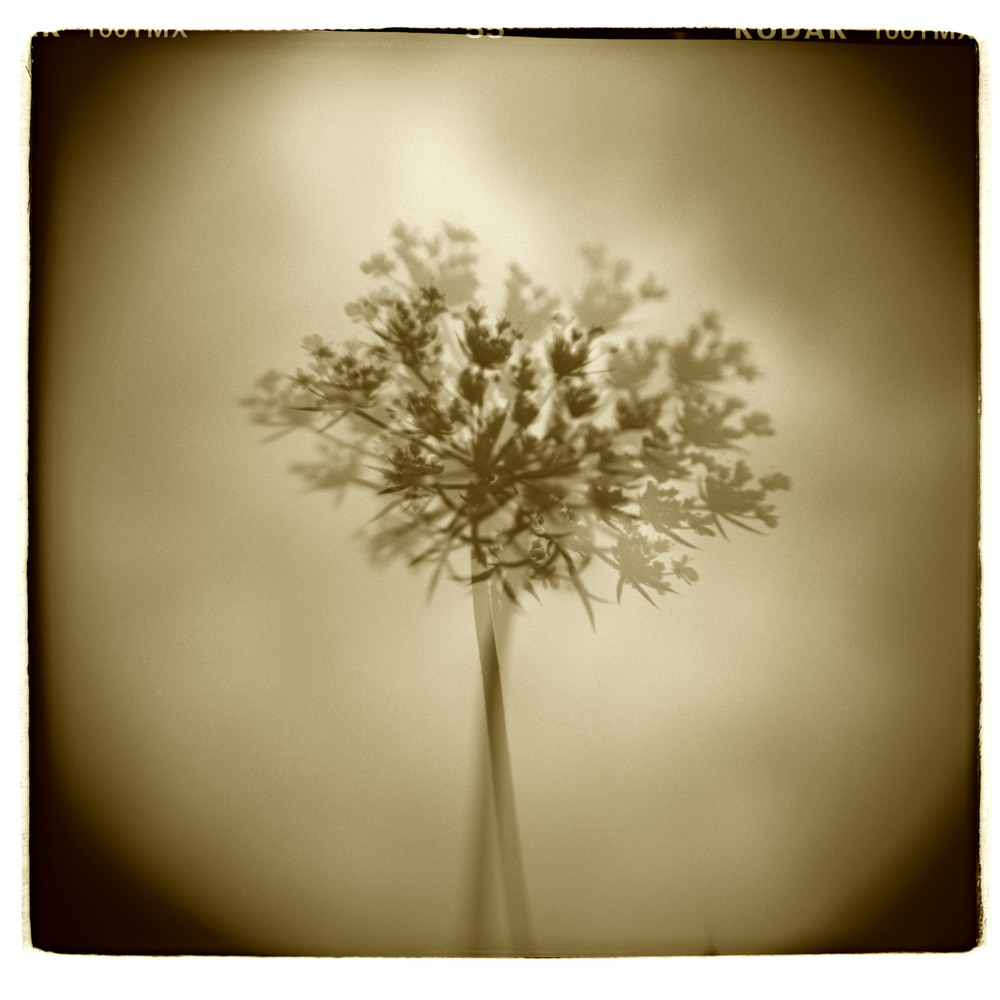 """Queen Anne's Lace"" H1413 (In-camera Double Exposure)"