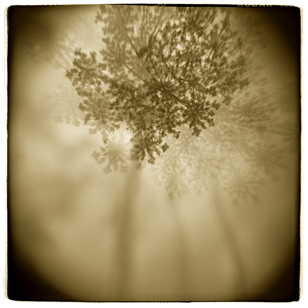"""Queen Anne's Lace"" H1414  (In-camera Triple Exposure)"