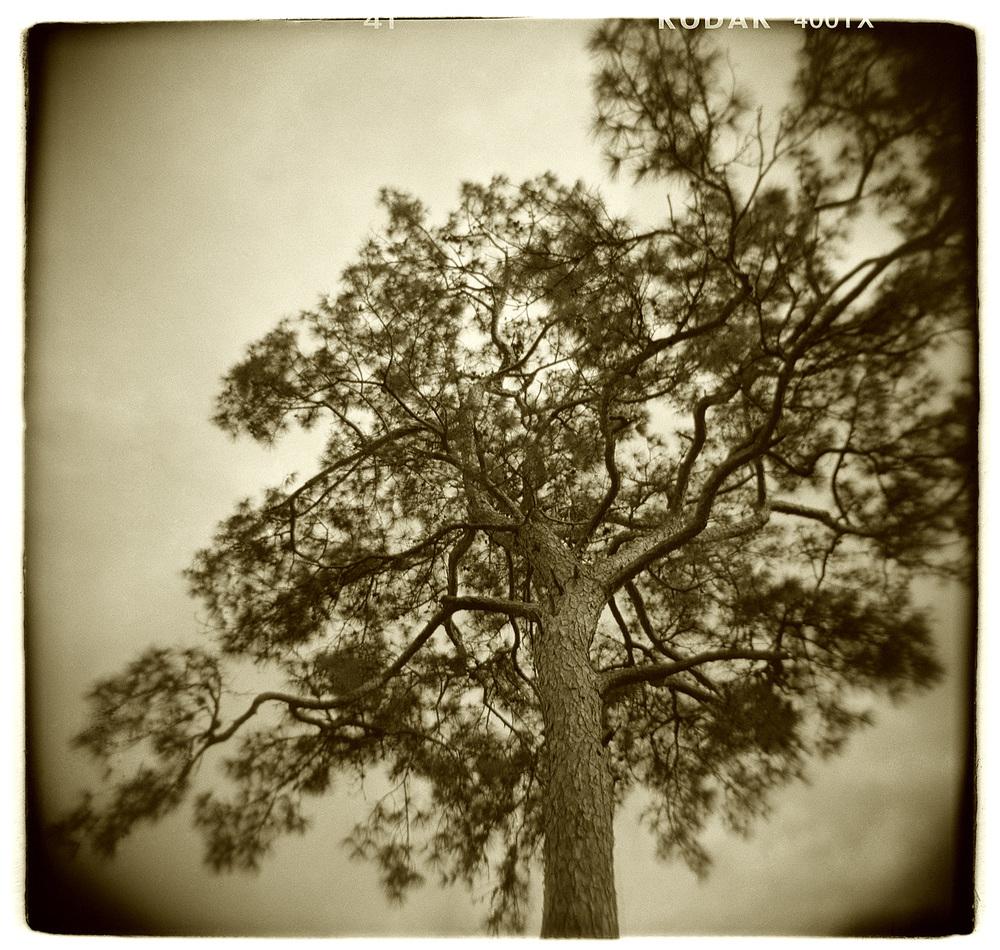"""Tree Study"" H1511"