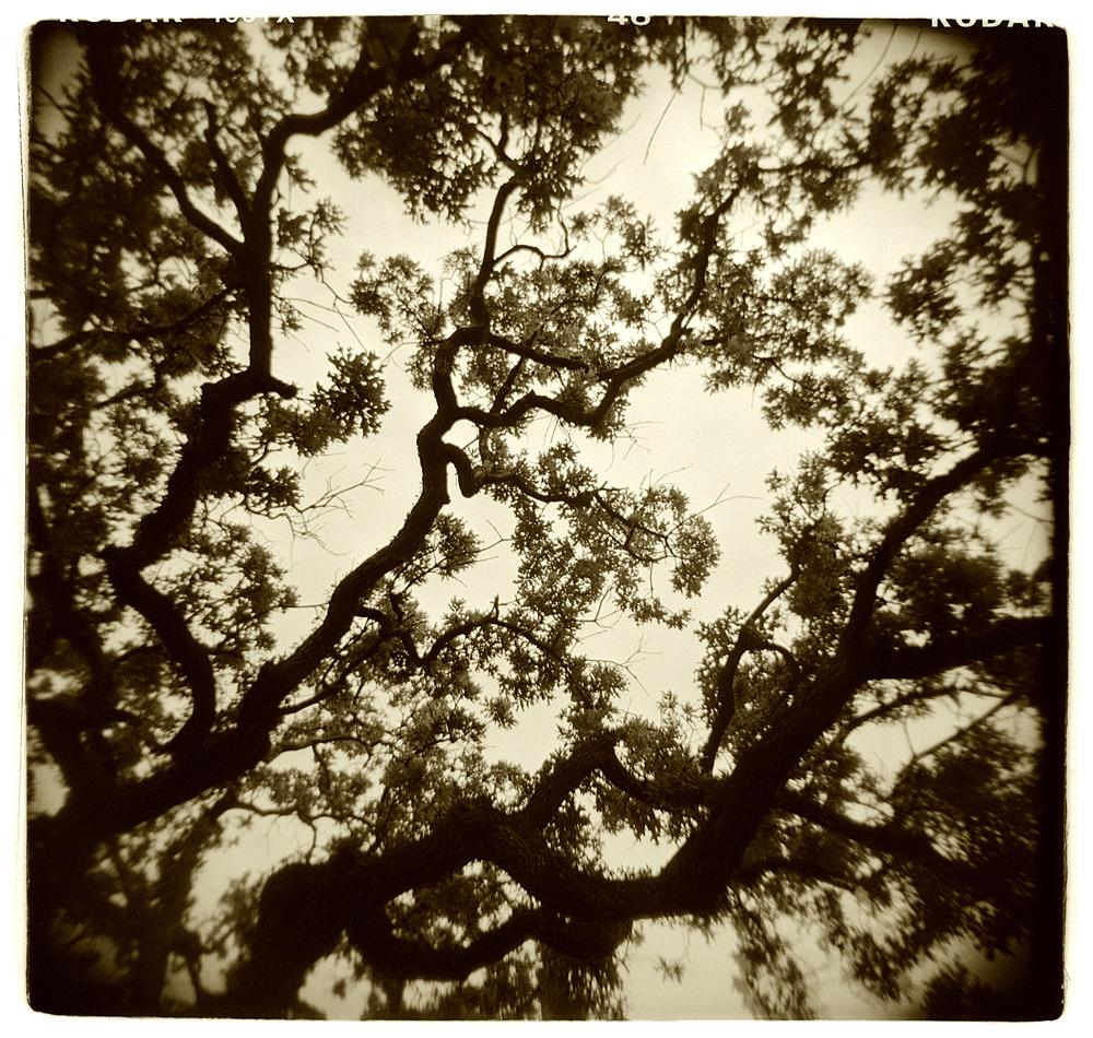 """Tree Study"" H1516"