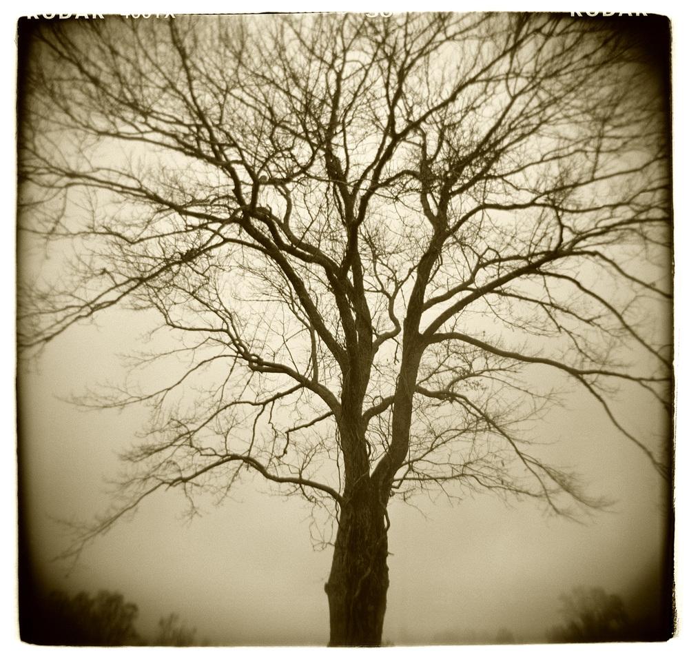 """Tree Study"" H1517"