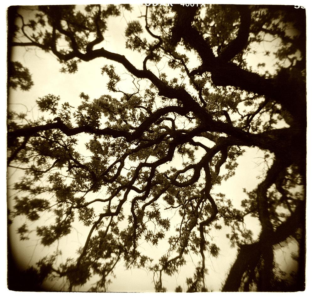 """Tree Study"" H1519"