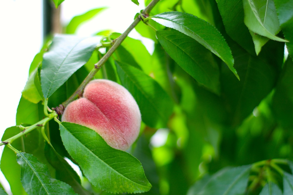 Perfect Irish Peach