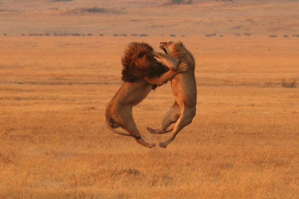 LIONS_HI_RES_18x12.jpg