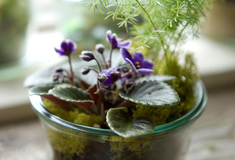 African Violet in a weck jar