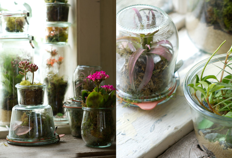 Weck jar terrariums