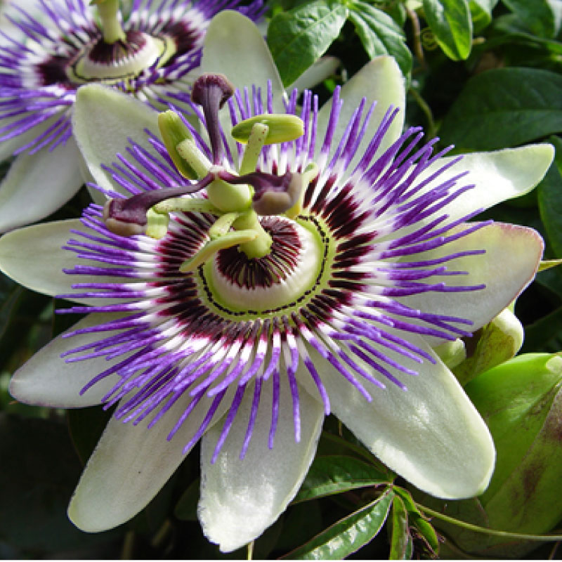 Passionflower image