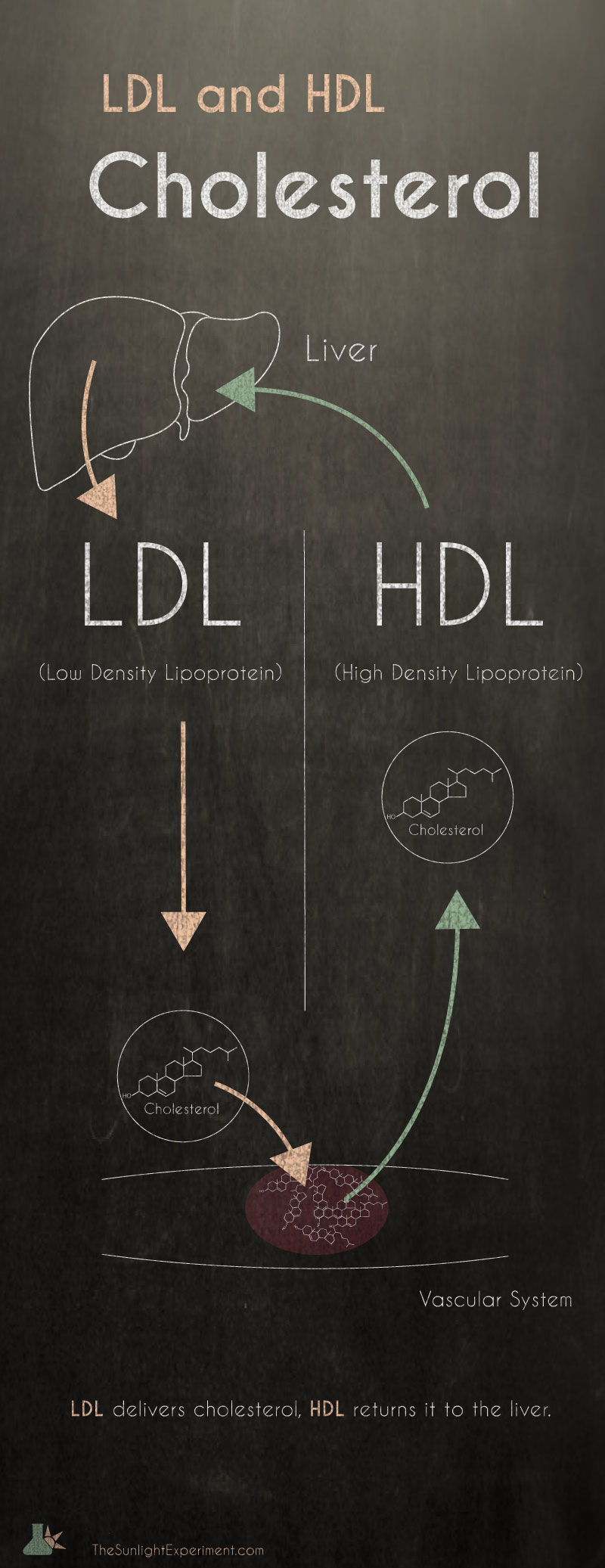 LDL and HDL cholesterol infographic