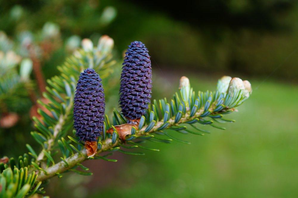 Fir tree cone
