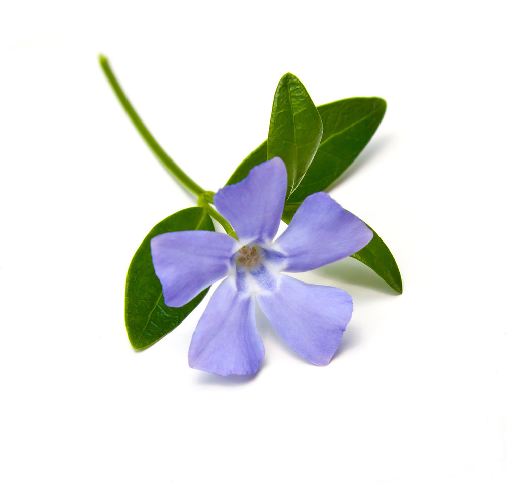 Vinca major flower vinpocetine