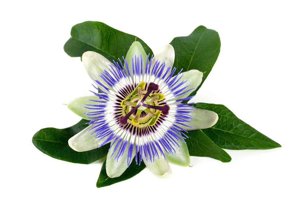 Passionflower medicinal actions