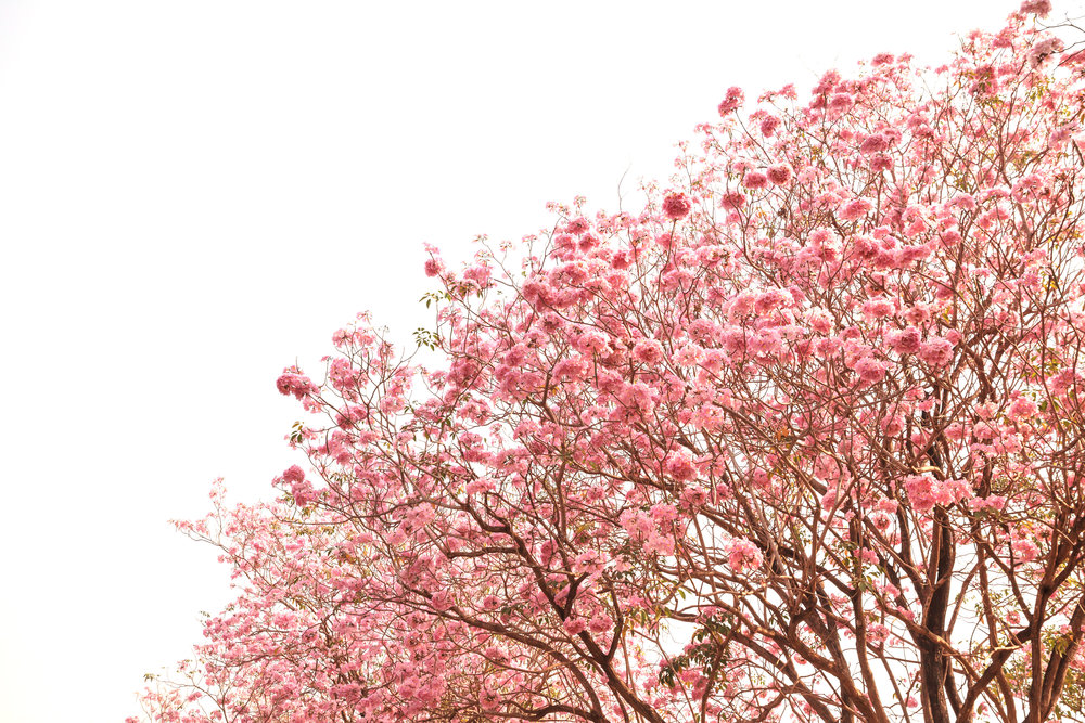 pau d'arco tree pink flowers