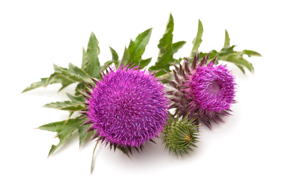 milk thistle flower heads