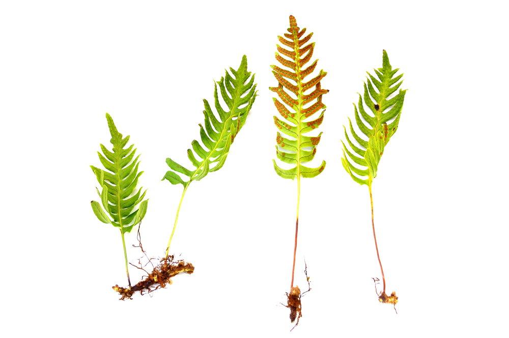 samambaia fern polypodium spp