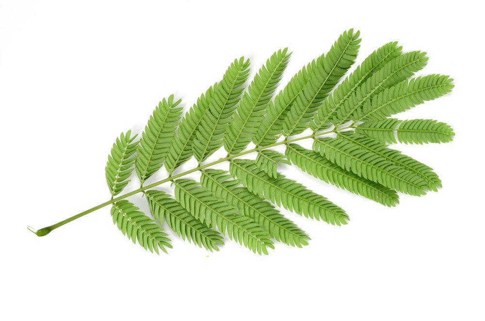 albizzia lebbeck leaf