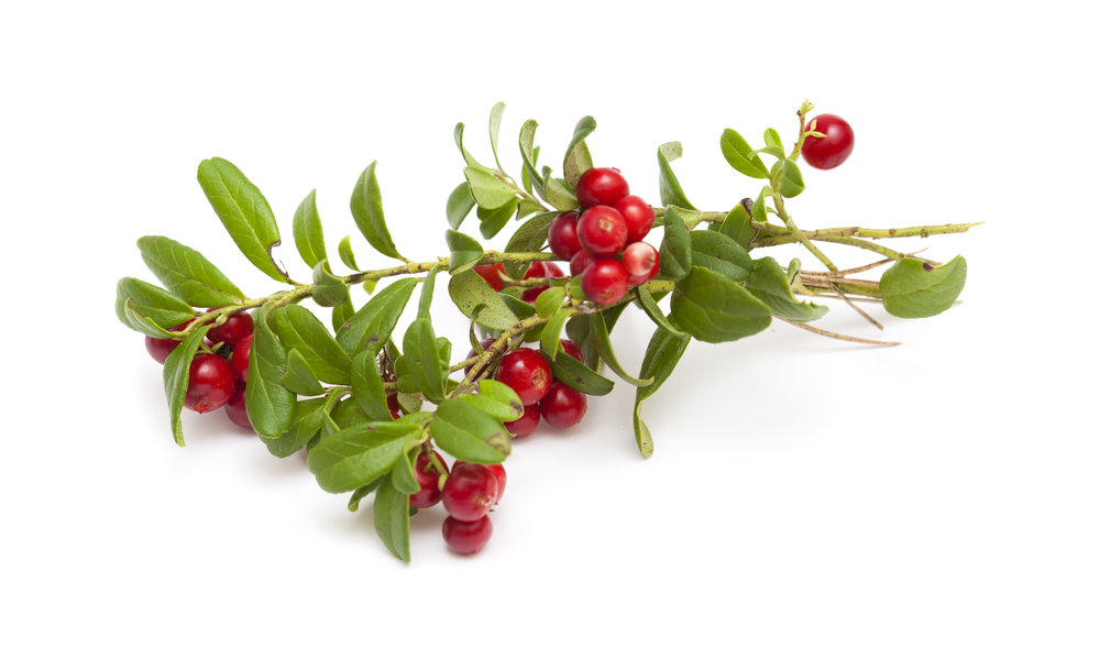 bear berry leaves