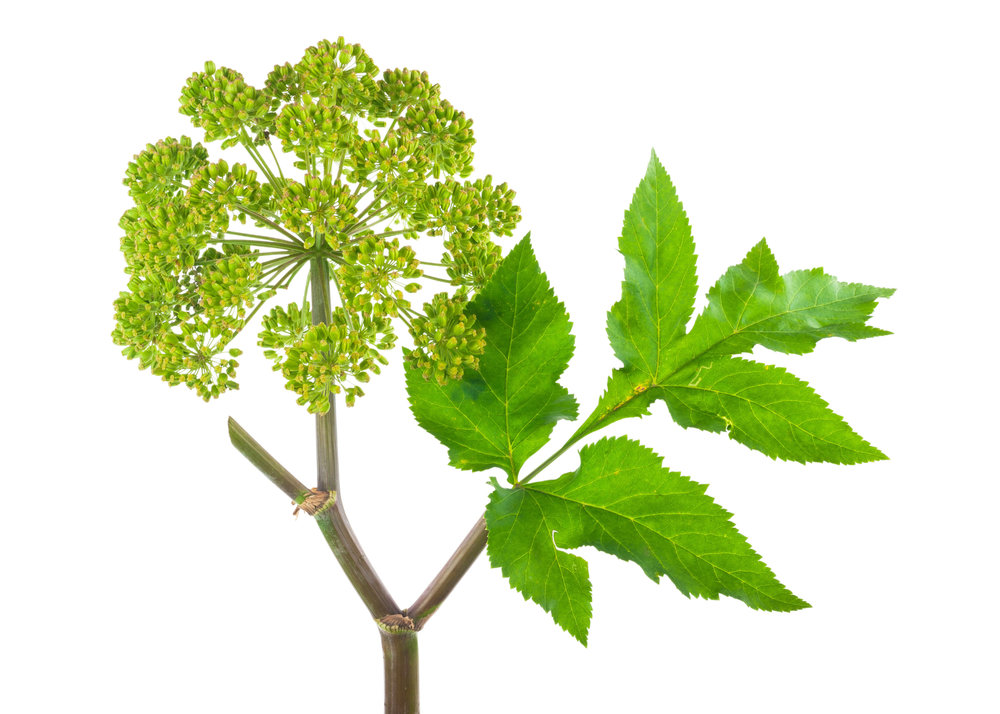 angelica sinensis herb