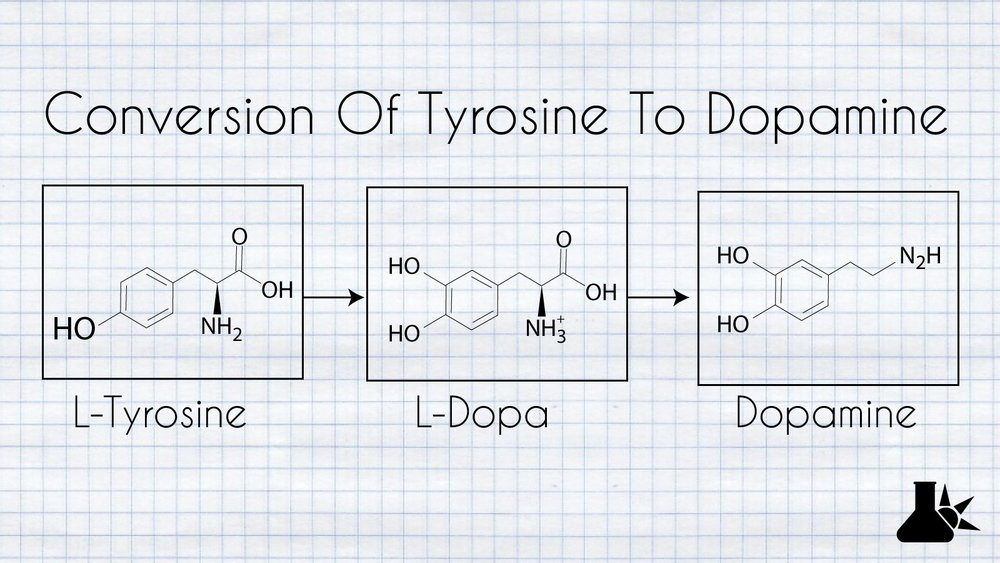the conversion of tyrosine to dopamine