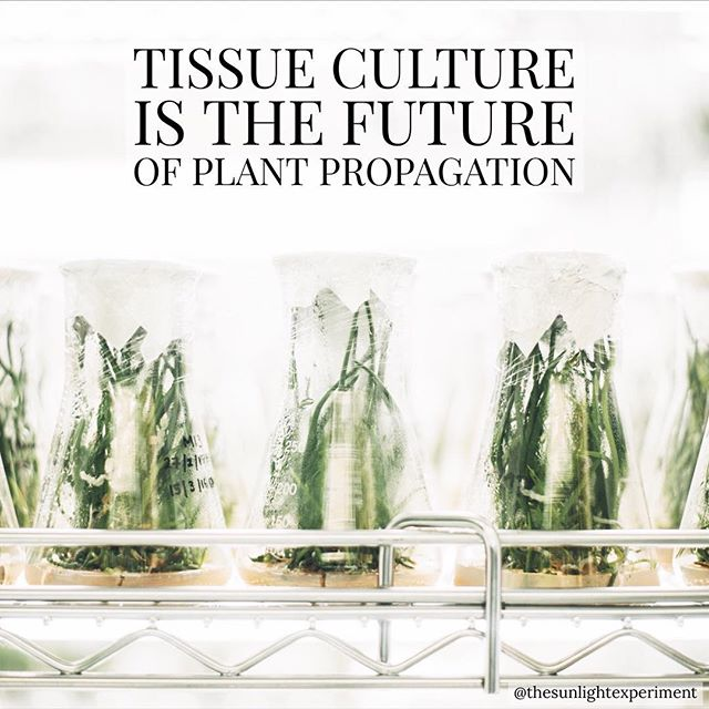 Tissue culture involves the growth of plant cells in a sterile solution. The cells then differentiate to create a mature plant. Roots, leaves, or stems can all be turned into a mature plant. The benefit of this technique is that it's insanely efficient. You can create an infinite amount of sister plants from a single cell. #tissueculture #science #horticulture #botany