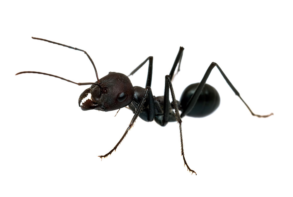 Black ants image