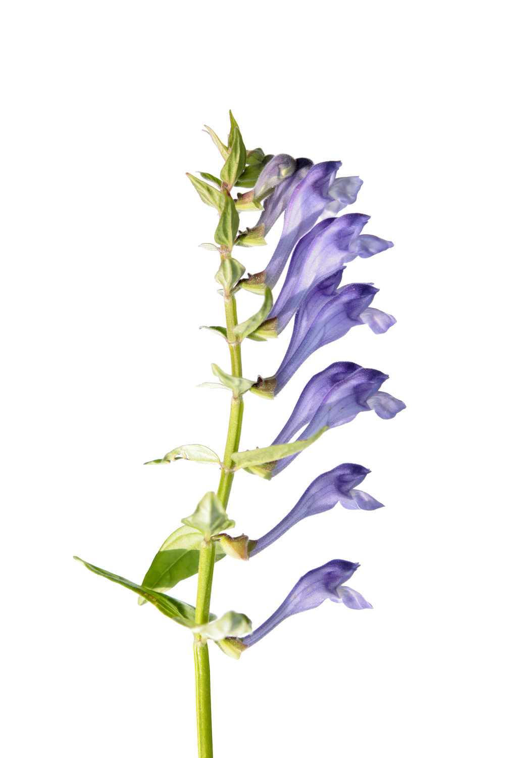 chinese baical skullcap flower