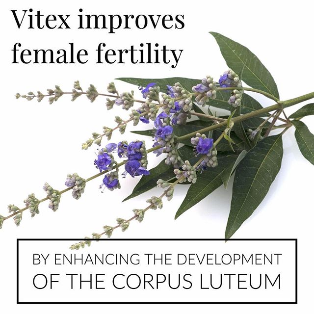 Chaste tree, also known as vitex is mainly used to improve female fertility through development of the corpus luteum. This is a crucial step in the female reproductive cycle for delivering progesterone in the second half of the cycle. #vitex #health #herbs #womenshealth