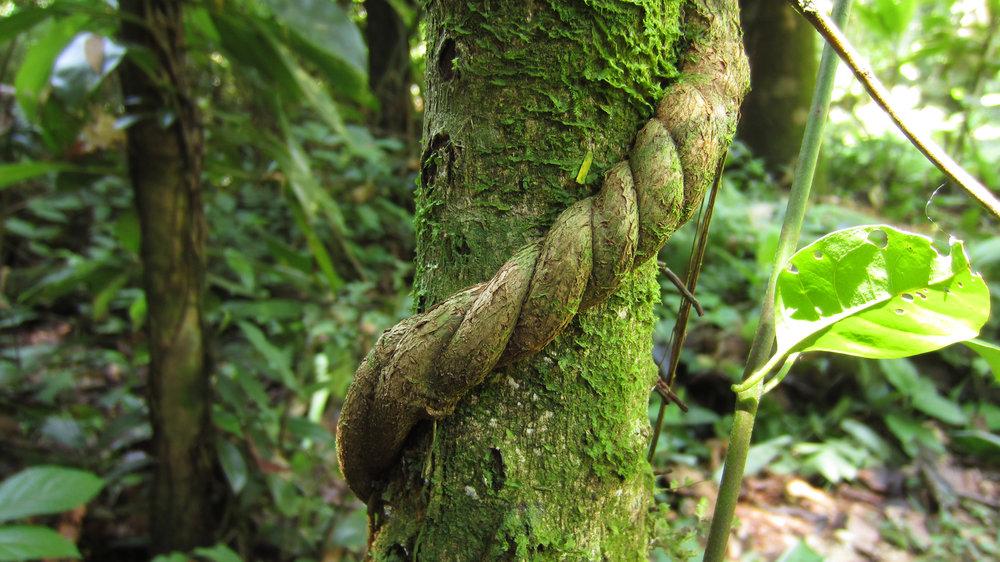 banisteriopsis vine