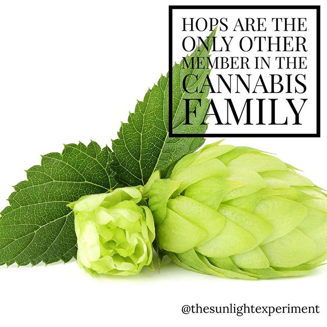 Hops are the only other members of the cannabis family. Just like cannabis, the resins from the female flowers are used as a sedative. #cannabis #hops #health #herbals