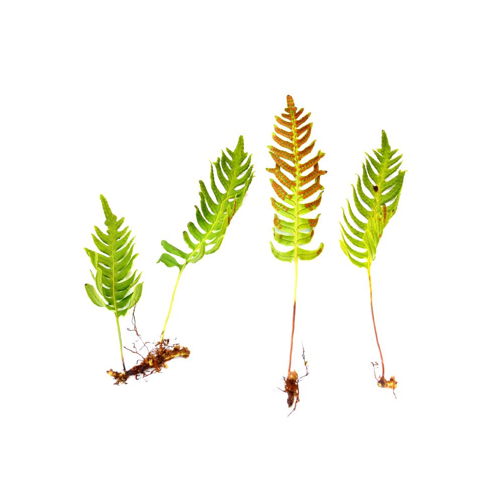samambaia fern herb