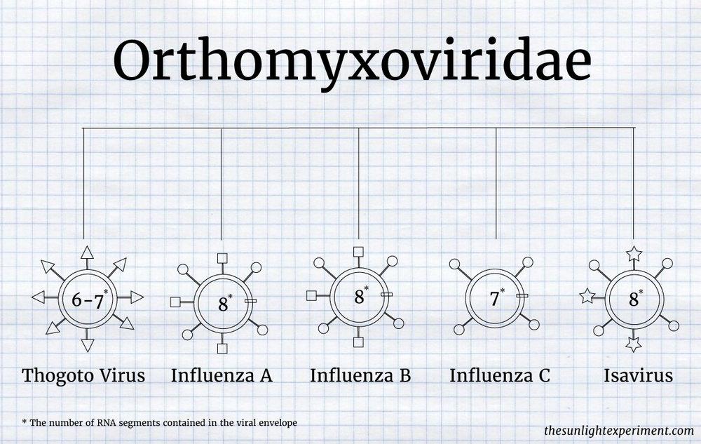 orthomyxoviridae influenza family