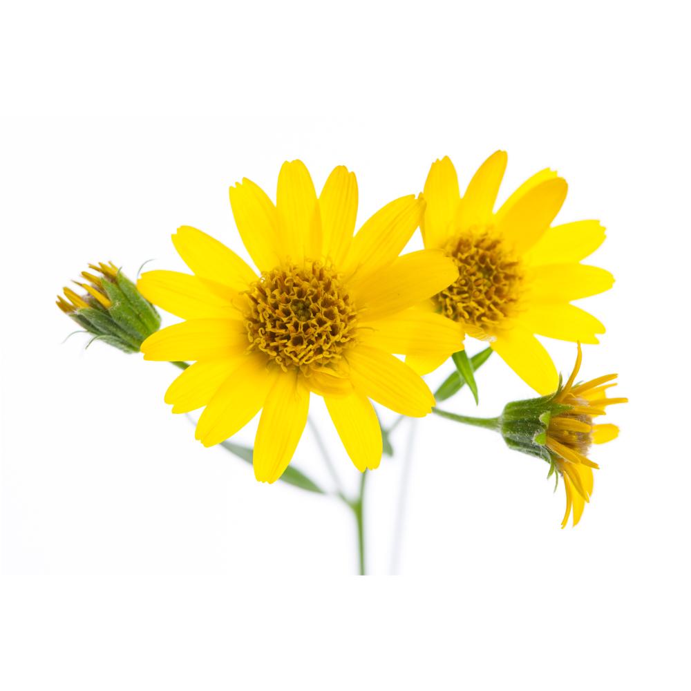 arnica-cover-herb-sumamry.jpg