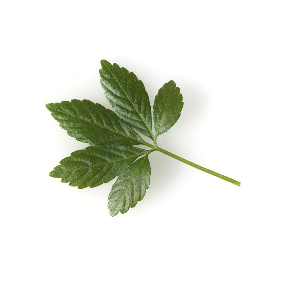 jiaogulan Gynostemma herb