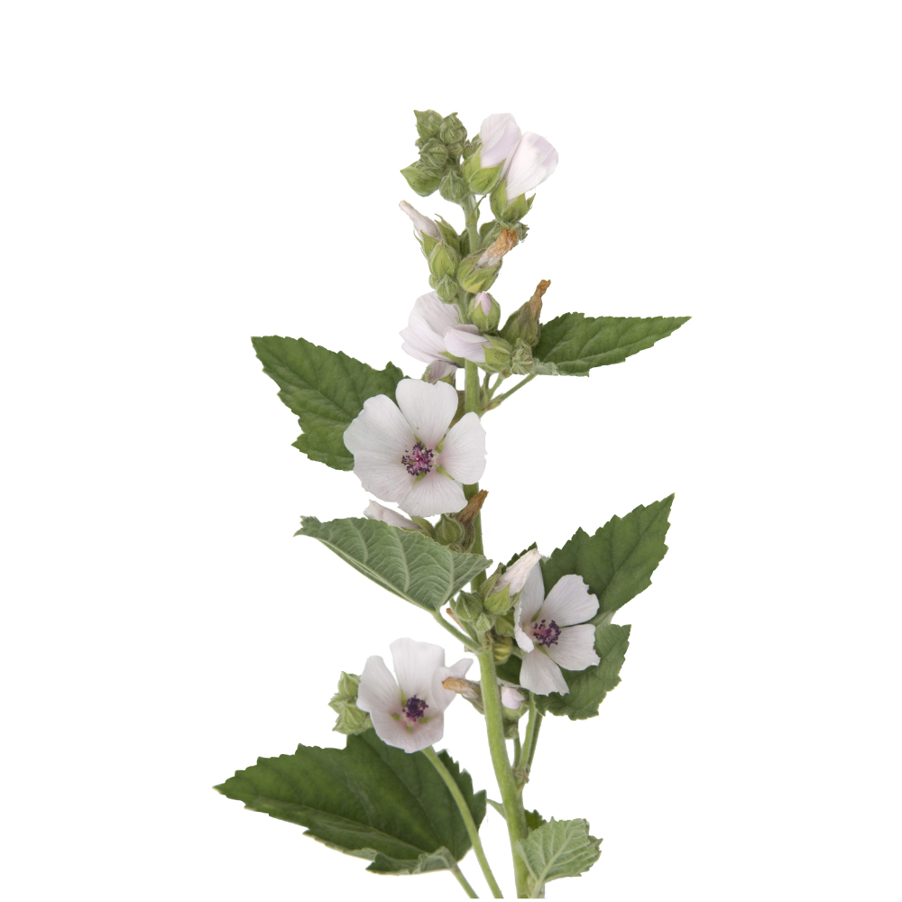althaea-marshmallow-herb-image.jpg