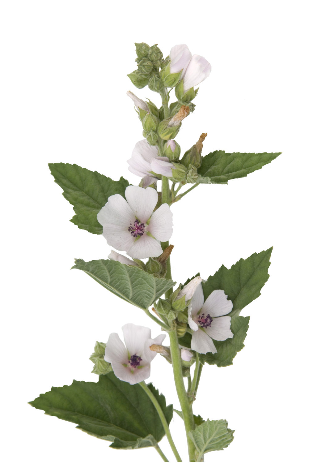 marshmallow plant althaea officinalis.jpeg