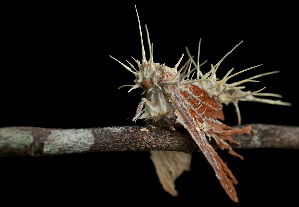 moth cordyceps.jpg