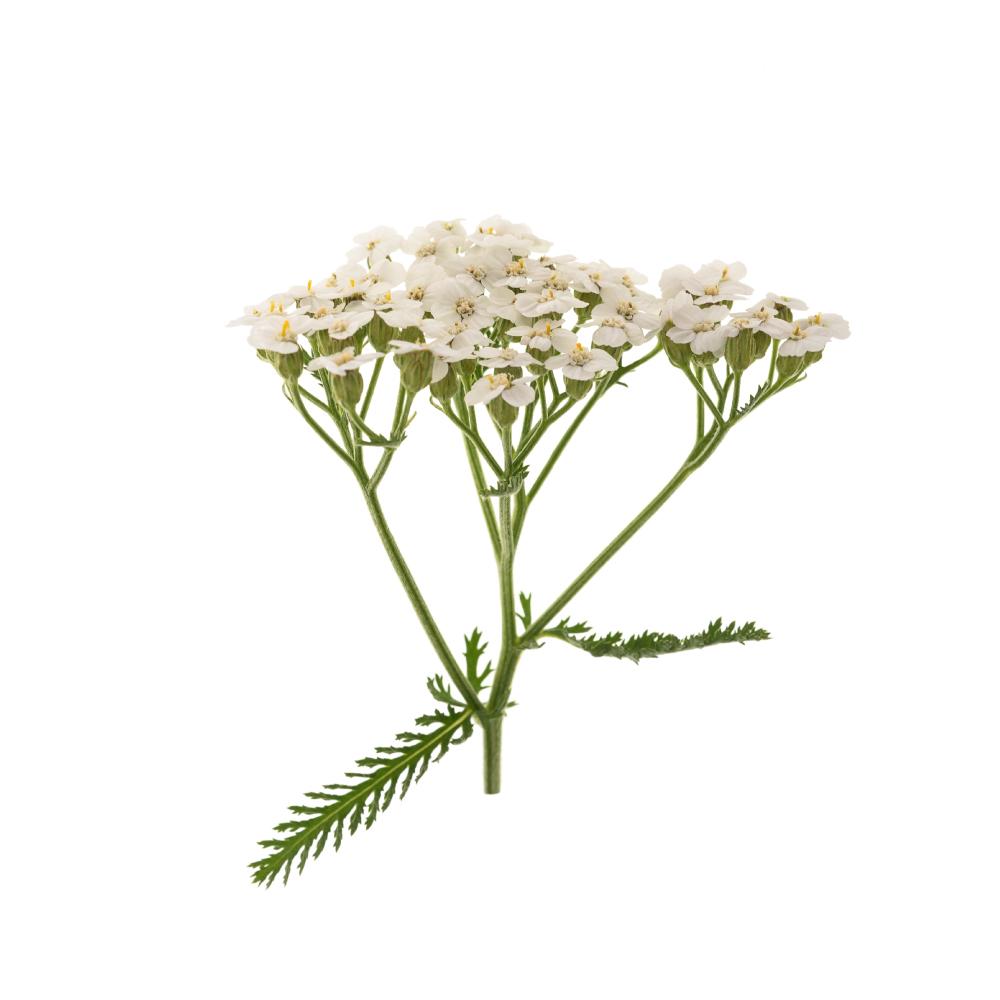 yarrow-flower-and-leaves.jpg