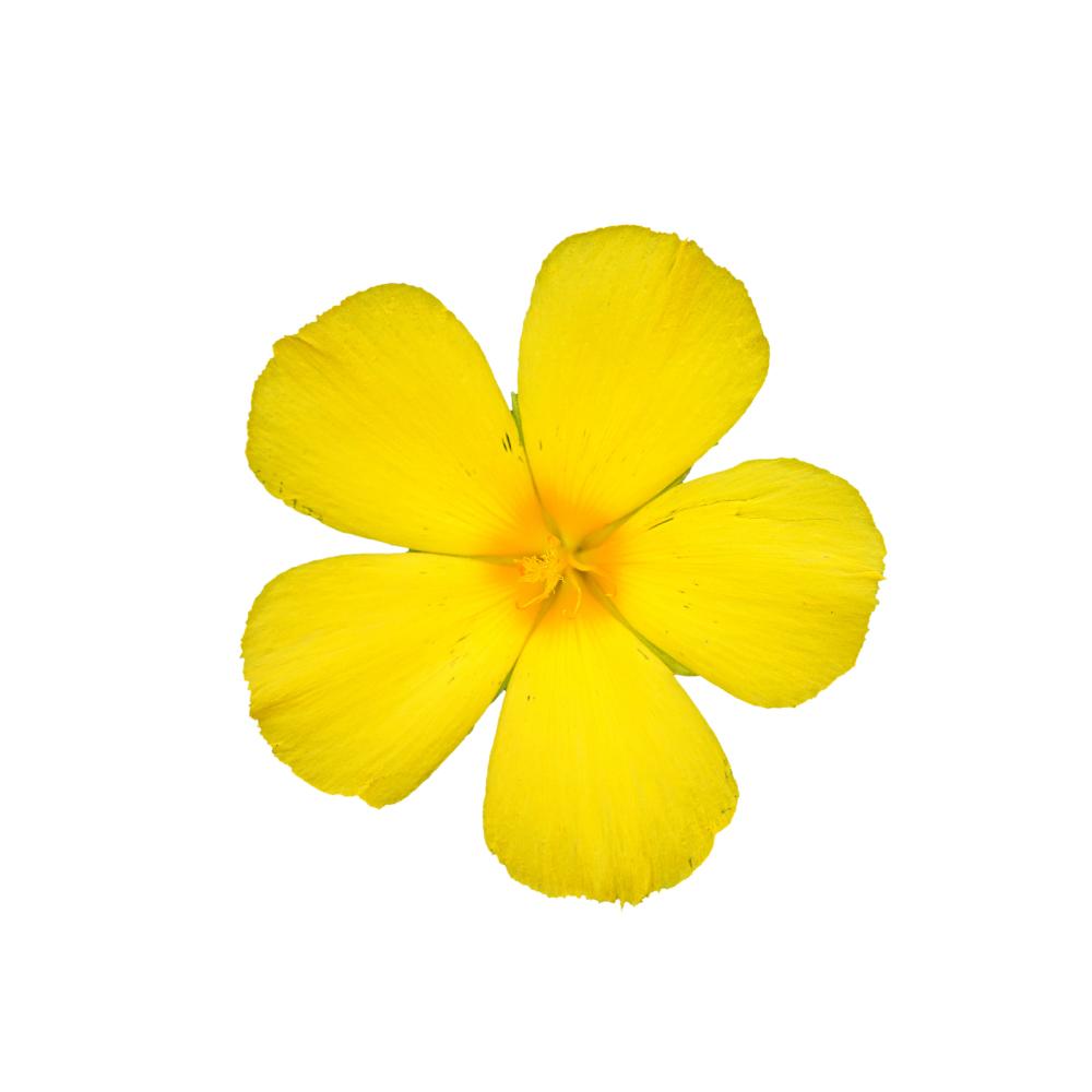 damiana-flower.jpg