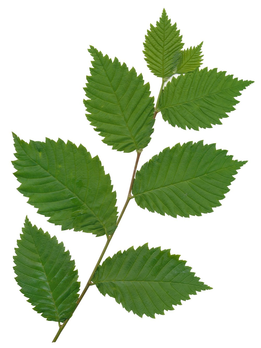 slippery elm tree leaves