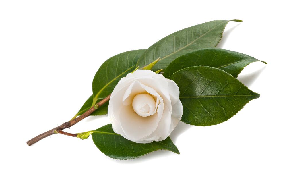 white camellia sinensis.jpeg