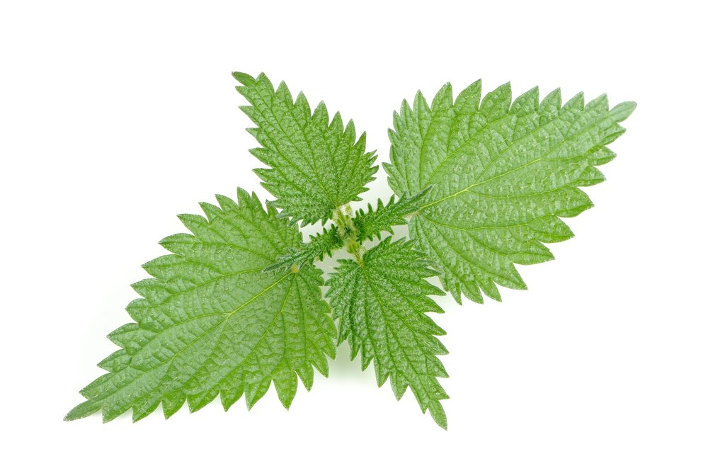 urtica dioica leaves.jpeg