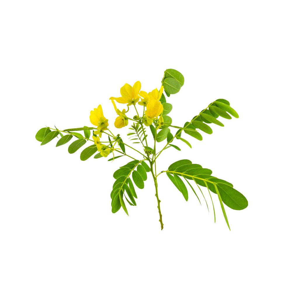 senna-cassia-angustifolia.jpg